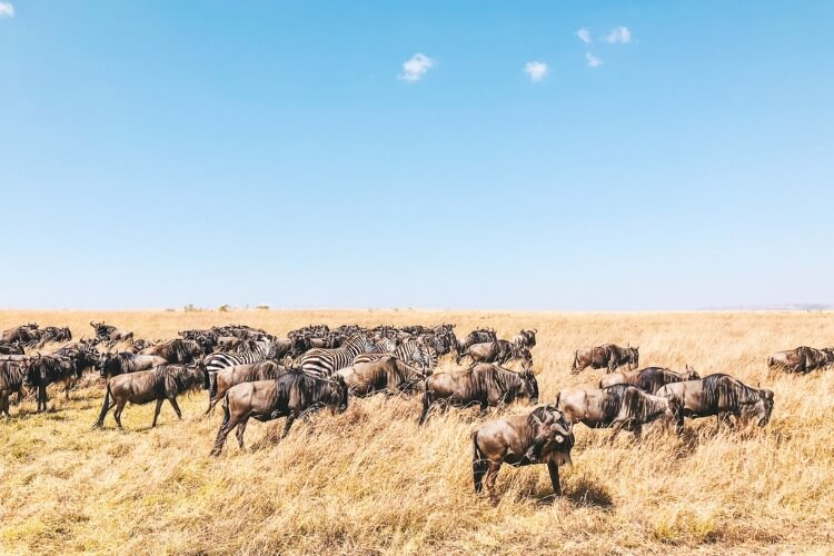 the great migration should be high on your list of things to see in africa.