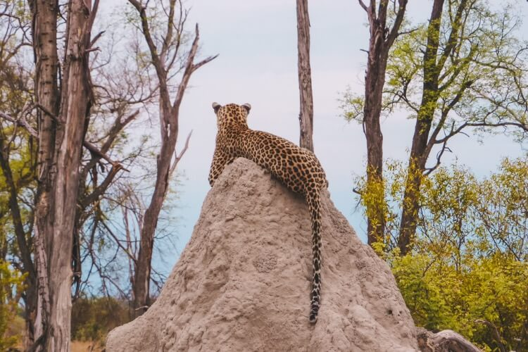 spot cheetahs up close when you visit Botswana \ best African countries to visit