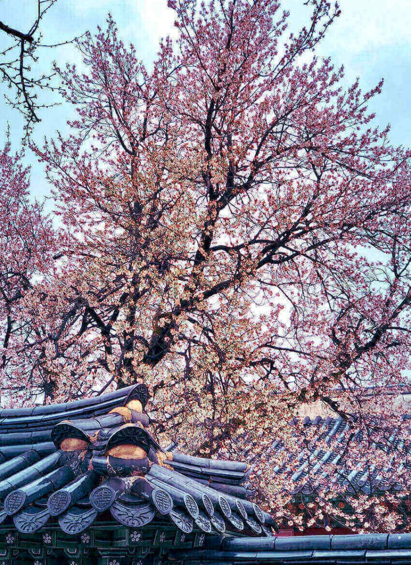 cherry blossoms in seoul in spring