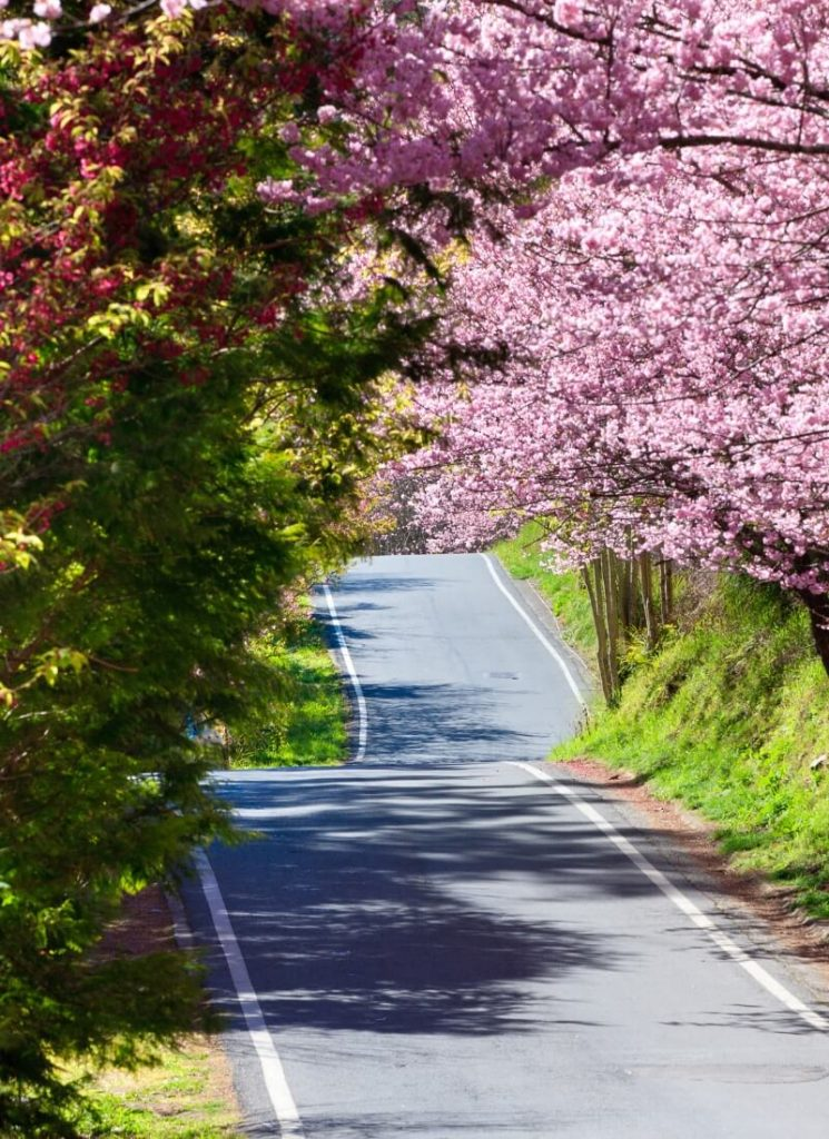 Wuling Road cherry blossoms